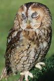 Tawny owl eller brun owl Arkivbild
