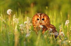 Tawny owl in evening light. Tawny owl Strix aluco in evening light stock images