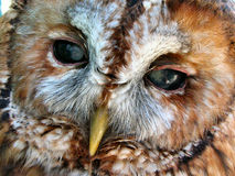 Tawny Owl Face. A closeup shot of the face of a tawny owl Royalty Free Stock Photos