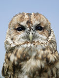 TAWNY OWL FACE AGAINST BLUE SKY. CLOSE UP Stock Image