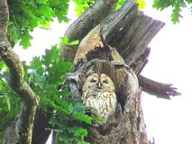 Mabel the Tawny Owl Royalty Free Stock Images