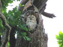 Tawny owl bird Stock Images