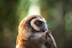 Tawny owl on fence post against a dark background of blurred trees/Tawny Owl/Tawny Owl stock images