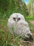 Tawny Owl fledgeling. (Strix aluco) sitting on a ground, Belarus Royalty Free Stock Photo