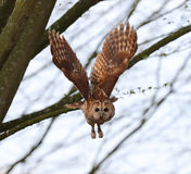 Tawny owl in flight Royalty Free Stock Images