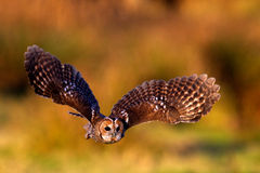A tawny owl flying. With a autumn colour background Stock Image