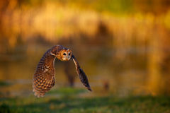 A tawny owl flying. With a autumn colour background Stock Photos