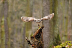 Tawny Owl flying from tree stump Royalty Free Stock Image