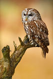 Tawny owl in the forest. Brown bird Tawny owl sitting on tree stump in the dark forest habitat. Beautiful bird sitting on the gree. N forest Royalty Free Stock Photo