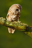 Tawny owl in the forest. Brown bird Tawny owl sitting on tree stump in the dark forest habitat. Beautiful bird sitting on the gree Stock Images