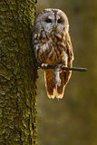 Tawny owl in the forest with mouse in the talon. Brown owl sitting on tree stump in the dark forest habitat with catch. Beautiful Stock Image