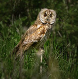 Tawny owl in the forest. Tawny owl Strix aluco perched in the forest stock photo