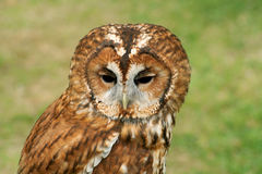 Tawny Owl full face Stock Image