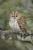 Tawny Owl on Gate. This Tawny Owl, perched on a gate was captured in Wales, UK Stock Image