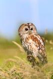 Tawny Owl in a grassy field Royalty Free Stock Photos