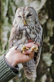 Tawny Owl. In hands of a rescuer stock photos