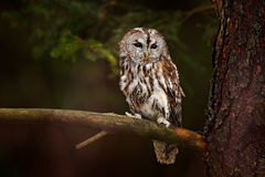 Tawny owl hidden in the forest. Brown owl sitting on tree stump in the dark forest habitat with catch. Beautiful animal in nature. Stock Image