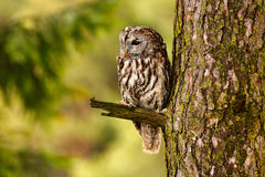 Tawny owl hidden in the forest. Brown owl sitting on tree stump in the dark forest habitat with catch. Beautiful animal in nature. Tawny owl hidden in the stock photography