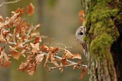 Tawny Owl hiddne behind tree trunk Stock Photography