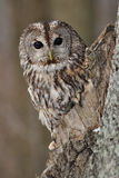 Tawny Owl in hollow tree. With brown background stock image