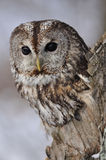 Tawny Owl in hollow tree. With light background stock photography