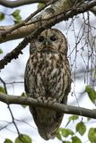 Tawny owl Strix aluco. Tawny owl in its natural habitat in Denmark royalty free stock photography