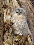 Tawny Owl joven - Strix Aluco Foto de archivo