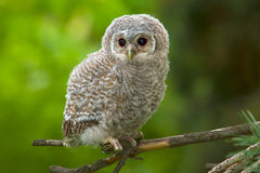 Tawny owl, juvenile / Strix aluco. Wild baby Tawny owl sitting on a branch stock photos