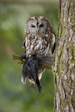 Tawny Owl with kill songbird balckbird, tree trunk with forest in the background, Norway Royalty Free Stock Photo