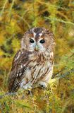 Tawny owl on larch Royalty Free Stock Images