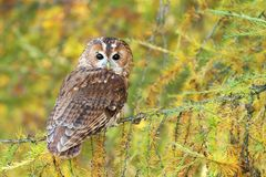 Tawny owl on larch tree Royalty Free Stock Photography