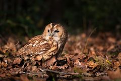 Tawny owl between leaves stock image