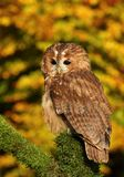 Tawny owl on mossy branch Royalty Free Stock Photography