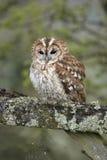 Tawny Owl On Gate Stock Image