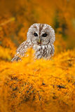 Tawny owl in the orange forest, autumn larch tree. Brown owl sitting on tree stump in the dark forest habitat with catch. Beautifu. L autumn Royalty Free Stock Images