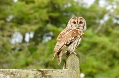 Tawny Owl på staket royaltyfri bild