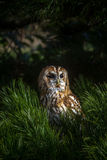 Tawny Owl. Perched on a branch Royalty Free Stock Photo