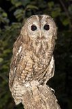 A Tawny owl perched on a branch Strix aluco stock photo