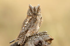 Tawny owl perched observed Royalty Free Stock Images