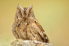 The tawny Stock Image