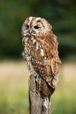 Tawny Owl Stock Photo