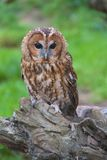 Tawny Owl Portrait Stock Photography