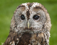 Tawny Owl Portrait Royalty-vrije Stock Foto's