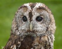 Tawny Owl Portrait Fotografie Stock Libere da Diritti