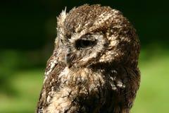 Tawny owl Royalty Free Stock Image