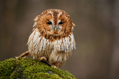 Tawny Owl. Portrait of Tawny Owl in daytime stock photography