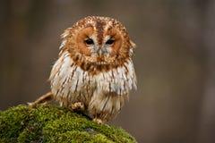 Tawny Owl Stock Photography