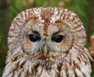 Tawny owl portrait. Portrait of tawny owl, horizontally on a green background Royalty Free Stock Photos