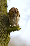 Tawny owl with prey Stock Photography