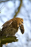 Tawny owl with prey Stock Images
